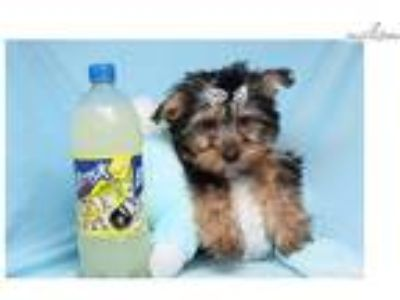 Tom Brady - Toy Yorkie Puppy
