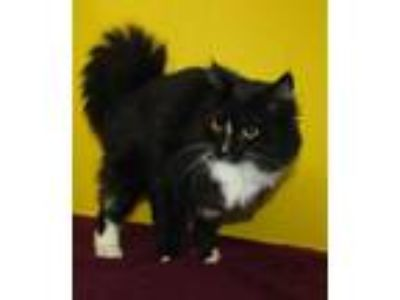 Adopt Kitty a All Black Domestic Longhair / Domestic Shorthair / Mixed cat in