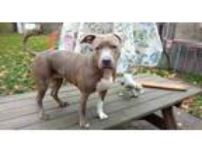 Adopt Destiny (courtesy post) a Pit Bull Terrier