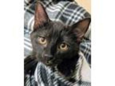 Adopt Nox a All Black Domestic Shorthair / Domestic Shorthair / Mixed cat in