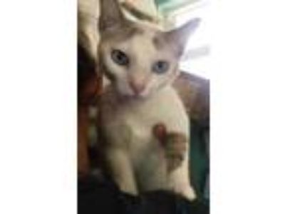 Adopt Larry a White Domestic Shorthair / Siamese / Mixed cat in Marathon
