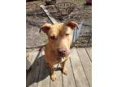 Adopt Tarzan Foster needed a Tricolor (Tan/Brown & Black & White) Shar Pei /
