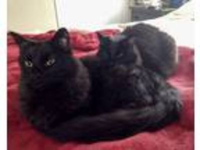 Adopt Handsome Boy and Pretty Girl a Black (Mostly) Domestic Longhair / Mixed