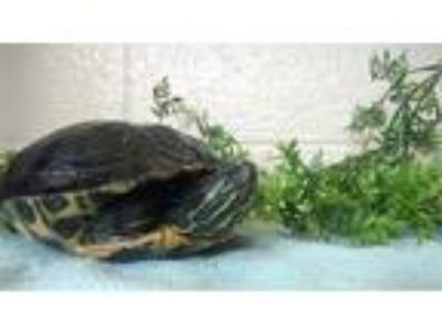 Adopt Snack a Turtle - Water reptile, amphibian, and/or fish in Monterey