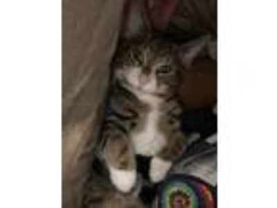 Adopt Lawrence a Domestic Short Hair