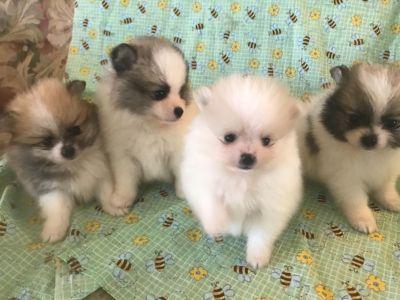 AKC CH Lines Pomeranian pups