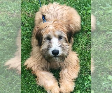Soft Coated Wheaten Terrier PUPPY FOR SALE ADN-131240 - Soft coated wheaten terrier