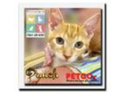 Adopt Punch a Orange or Red (Mostly) Domestic Shorthair / Mixed (short coat) cat