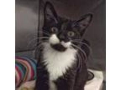 Adopt Mustachio a Domestic Short Hair