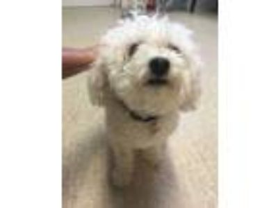 Adopt Jake a White Poodle (Toy or Tea Cup) / Mixed dog in Marathon