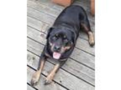 Adopt Piper a Black - with Tan, Yellow or Fawn Rottweiler / Mixed dog in