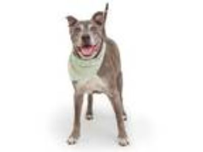 Adopt CHEVY a Gray/Silver/Salt & Pepper - with White American Pit Bull Terrier /