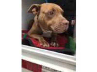 Adopt Piper a Red/Golden/Orange/Chestnut American Pit Bull Terrier / Mixed dog