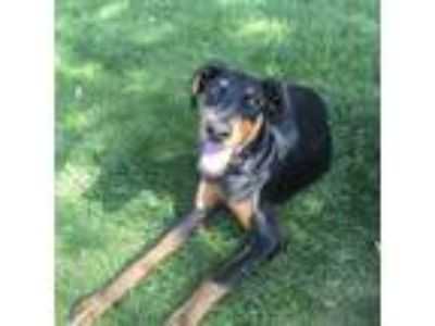 Adopt Floki a Black - with Tan, Yellow or Fawn Doberman Pinscher / Mixed dog in