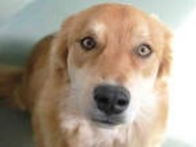 Adopt BANE a Tan/Yellow/Fawn Golden Retriever / German Shepherd Dog / Mixed dog