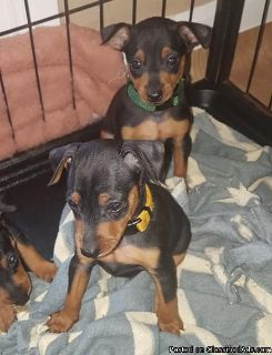Quality Miniature Pinscher Puppies