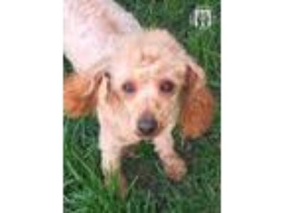 Adopt Melvin a Poodle