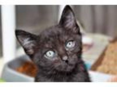 Adopt Kiwi a Domestic Short Hair