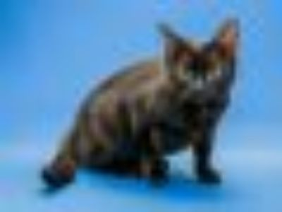 Babette Domestic Short Hair Cat