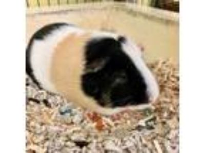 Adopt Twinkle a Guinea Pig