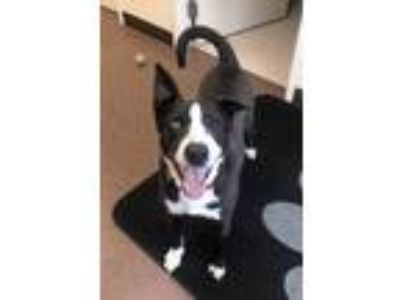 Adopt Pinto a Black - with White Husky / Mixed dog in Willmar, MN (24935488)