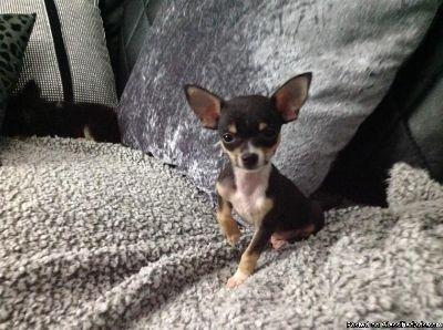 stunning Chihuahua Puppies Full Pedigre