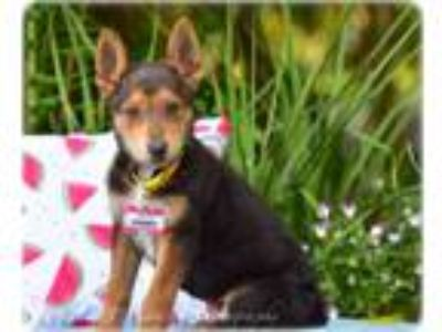 Adopt Chianti a German Shepherd Dog