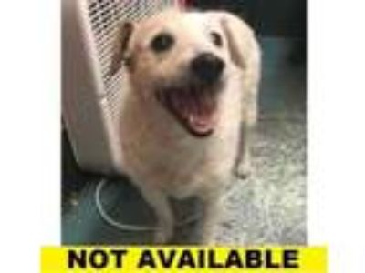 Adopt Stacey a White Jack Russell Terrier / Mixed dog in Eugene, OR (25601542)