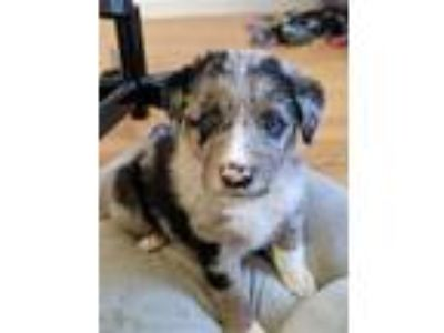 Adopt *Cadbury* Puppy a Australian Cattle Dog / Blue Heeler