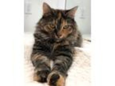 Adopt Izzy a Domestic Long Hair, Tortoiseshell