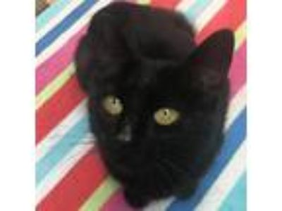 Adopt Ember - Chowhound Northland a All Black Domestic Shorthair cat in Walker