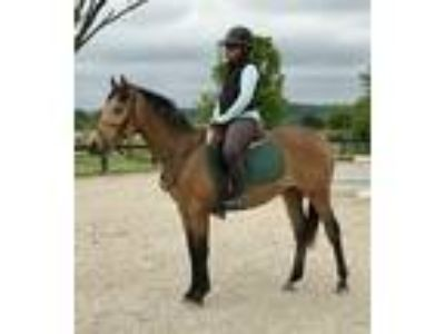 Buckskin Westfalen Warmblood gelding