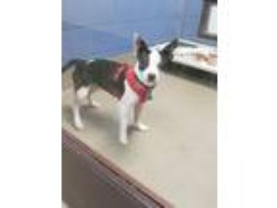Adopt Whiskey a Parson Russell Terrier, Mixed Breed