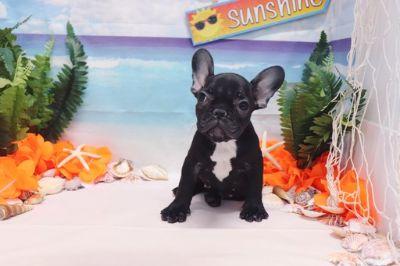 French Bulldog PUPPY FOR SALE ADN-89006 - French Bulldog  Chanel  Female AKC