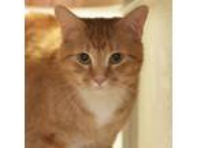 Adopt Peanut a Orange or Red American Shorthair / Domestic Shorthair / Mixed cat