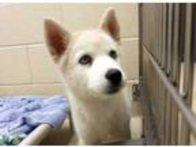 Adopt *KONA a White Husky / Mixed dog in Chapel Hill, NC (25243187)