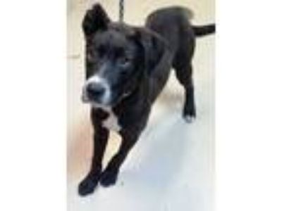Adopt Atlas a Black - with White Pit Bull Terrier / Mixed dog in Decatur