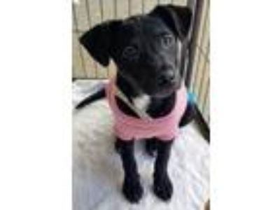 Adopt Tess a Black Catahoula Leopard Dog / Mixed dog in red oak, TX (25579607)