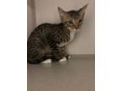 Adopt Aladdin a Brown Tabby Domestic Shorthair (short coat) cat in Winter Haven