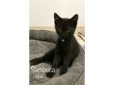 Adopt Sambuca a Domestic Short Hair