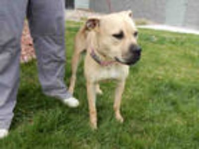 Adopt ROSE* a Tan/Yellow/Fawn - with White American Pit Bull Terrier / Mixed dog