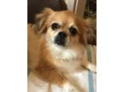 Adopt Sadieboo a Tan/Yellow/Fawn - with White Pekingese / Bichon Frise / Mixed
