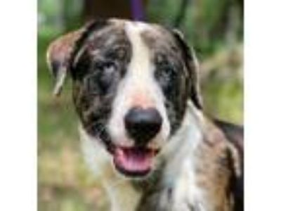 Adopt BLUE a Labrador Retriever, Catahoula Leopard Dog