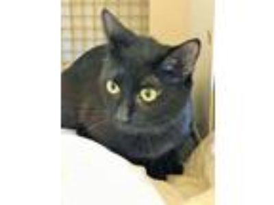 Adopt Black Cat a Domestic Short Hair