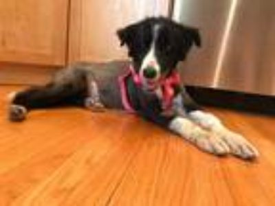 Adopt Willow a White - with Black Border Collie / Mixed dog in Hainesville