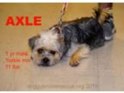 Adopt Axel a Pug, Yorkshire Terrier