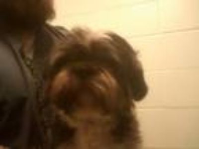 Adopt Simba a Shih Tzu, Mixed Breed