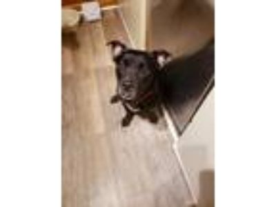 Adopt Evelyn a Pit Bull Terrier / American Staffordshire Terrier / Mixed dog in