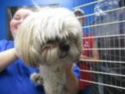 Adopt Spinster (See Memo) a Shih Tzu, Mixed Breed