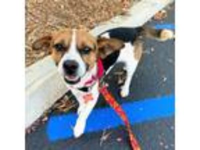 Adopt Buster a Jack Russell Terrier, Beagle